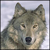 Beautiful wolf %281%29